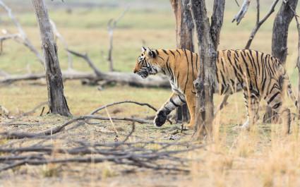 Wild Bengal Tiger (Panthera Tigris Tigris) hiding to catch her Prey, Ranthambore national park Enchanting Travels India Tours
