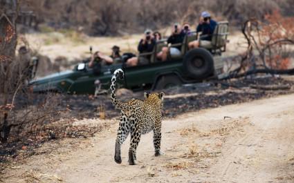 Leopard läuft vor einem Safari-Geländewagen