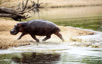 African safari parks to see - Hippo charging out of the waterhole