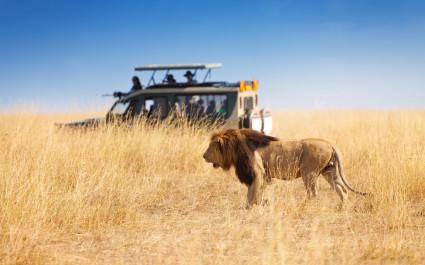Safari-Geländewagen in der Nähe eines Löwen