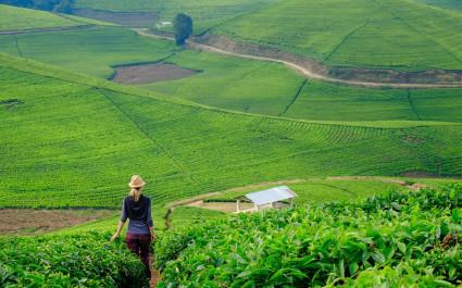 Teeplantage  in Ruanda