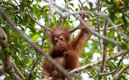 Orang-Utan-Baby in den Baumwipfeln eines Feigenbaumes am Kinabatangan-Fluss auf Borneo