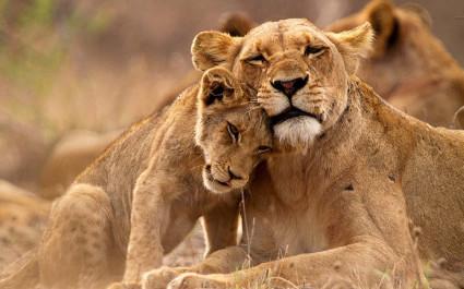 Tiger schmust mit seinem Jungen
