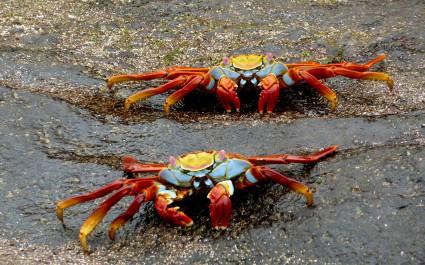 Nahaufnahme von zwei Roten Klippenkrabben im Sand