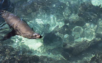 Sea lion swimming in the crystal clear green waters near the coast of the island of San Cristobal, Galapagos Islands, Ecuador, South America