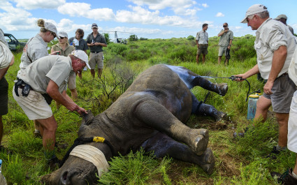 Caring for an injured rhino at Ziwa