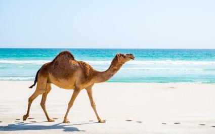 Camels in Salalah, Dhofar, Oman