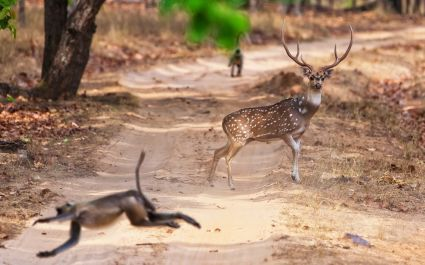 Chital or cheetal deer (Axis axis), also known as spotted deer or axis deer in the Bandhavgarh National Park in India. Bandhavgarh is located in Madhya Pradesh