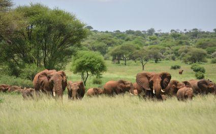 Herd of Elephants , Serengeti natural park, Tanzania