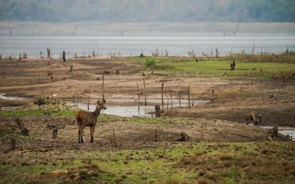 sambar deer at her habitat land of tadoba
