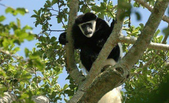 Affe klettert auf den Baum