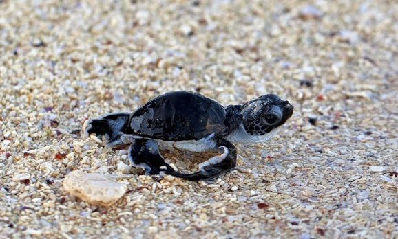 green-sea-turtle-hatchling-making-its-first-steps-from-the-beach-to-the-sea-shutterstock_116010559