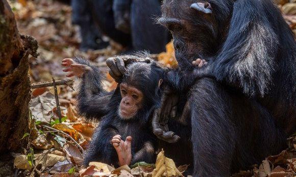 tansania-reisen-schimpansen