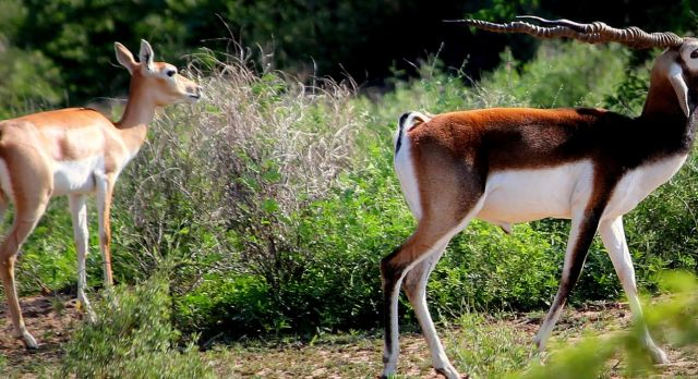Deer in Rohet - Rohetgarh - North India boutique hotels