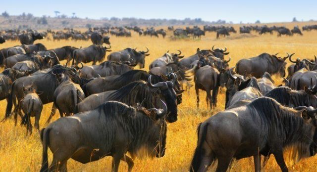 Top 10 Things To Do in Kenya - great migration