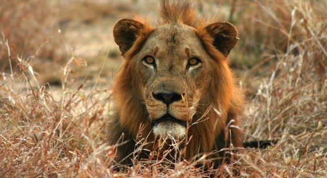 Löwe, Safari