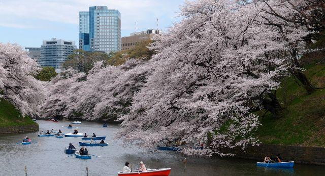 Kirschblüten in Tokyo