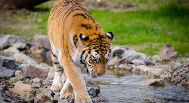 Safari in India: Kings Lodge Bandgavgarh tiger