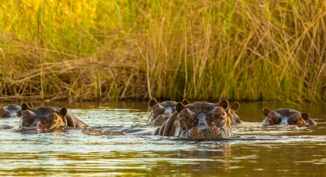 Hippopotami keeps cool in a river which is part of the Okavango Delta. shutterstock_157926710
