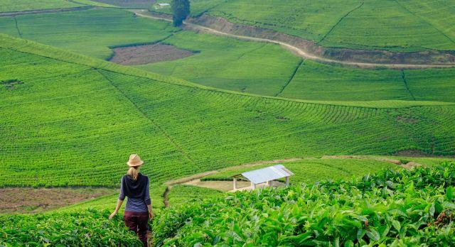 Plantation in Rwanda