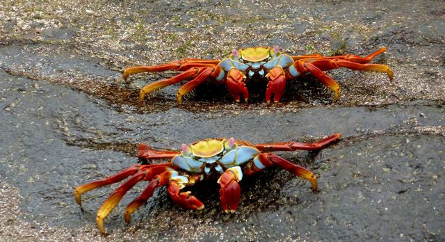 Catch sight of Sally Lightfoot crabs on your Galapagos trip.