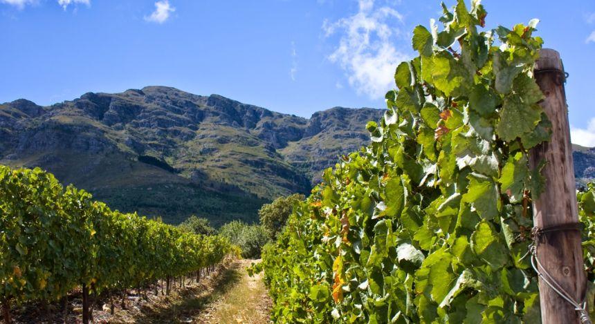 Weinreben in Stellenbosch