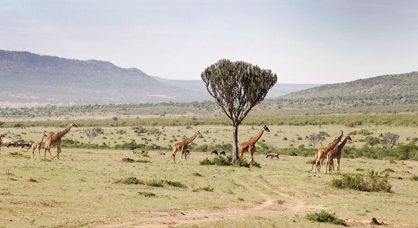 Giraffen schreiten durch die Steppe