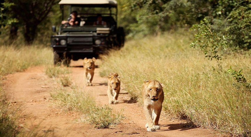 Drei Löwen trotten hintereinander her