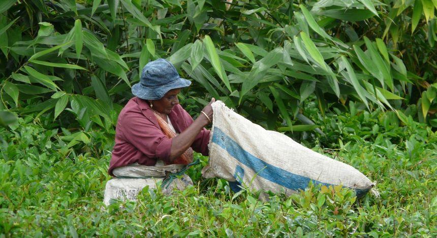 Frau auf Mauritius bei der Ernte