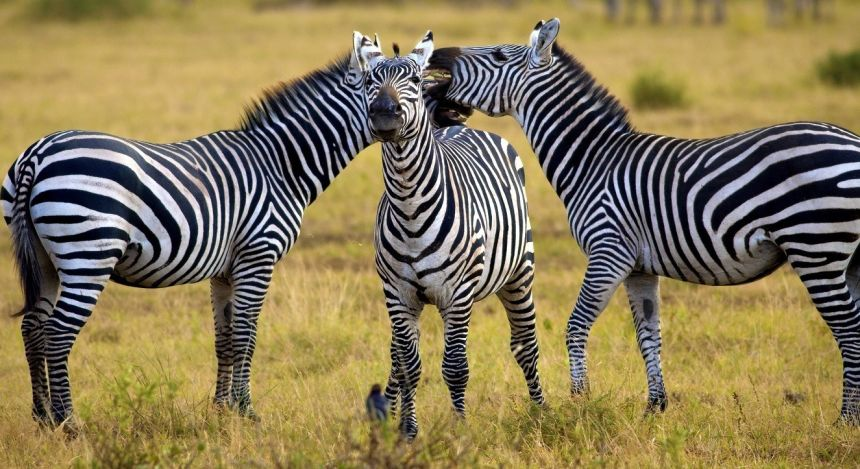Drei Zebras im Gras