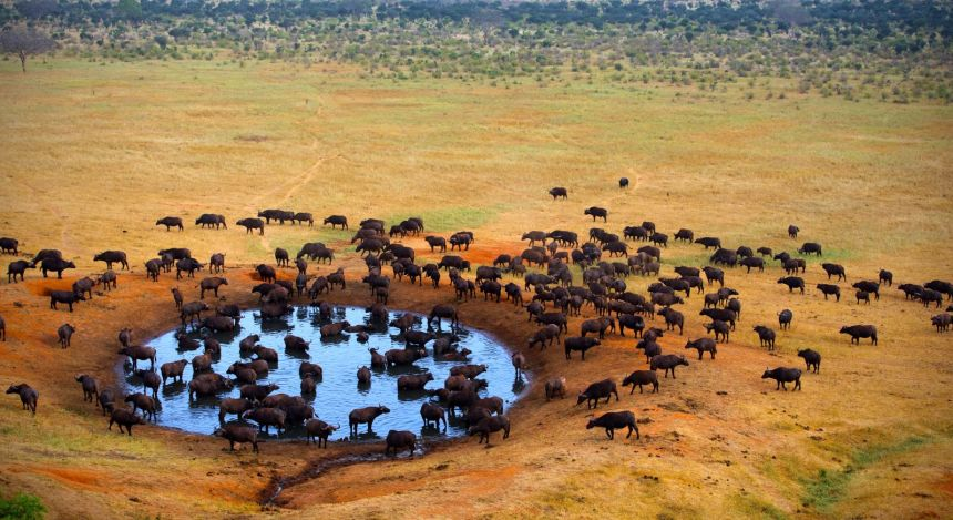 Büffelherde, Masai Mara
