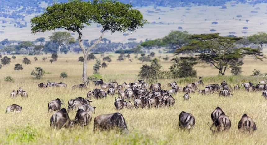 Enchanting Travels African safari parks to see - Wildebeest and Zebra herds during migration in Serengeti national park Tanzania Africa