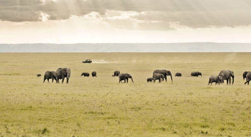 Elefanten ziehen durch die Savannen
