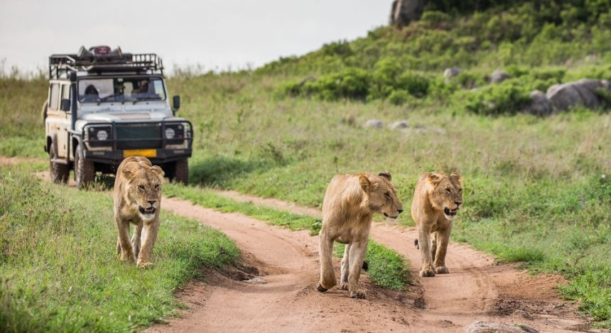 Enchanting Travels Lionesses walk along the road against the backdrop of a car with tourists. Africa. Tanzania. Serengeti National Park