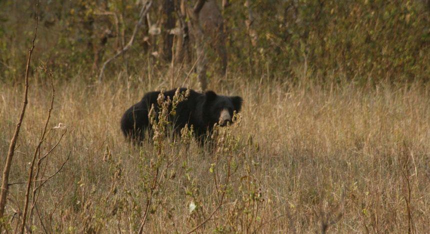 Enchanting Travels Tiger Safaris in India - Bear