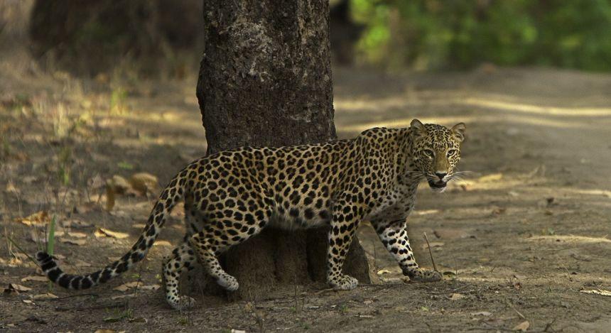 Ein Leopard neben einem Baum blickt in die Kamera