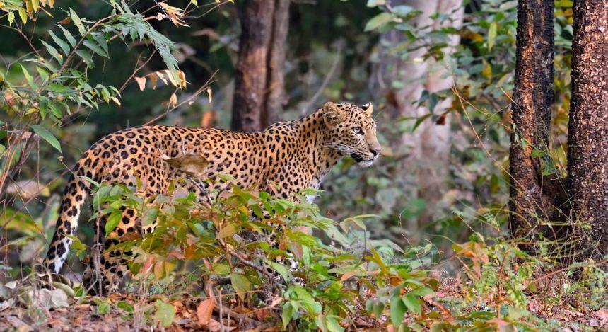 Leopard steht wachsam im Gebüsch