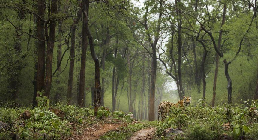 Königstiger steht im dichten Urwald