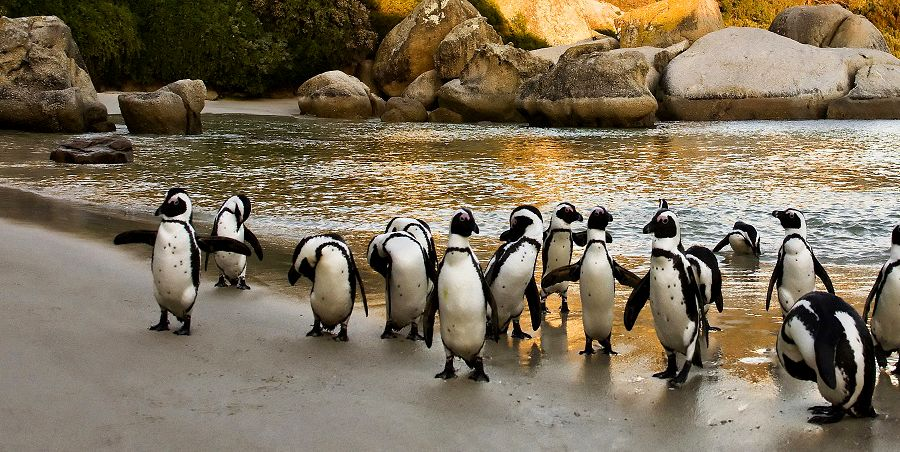 Enchanting Travels South Africa Tours African Penguins on Boulders Beach, Cape Town