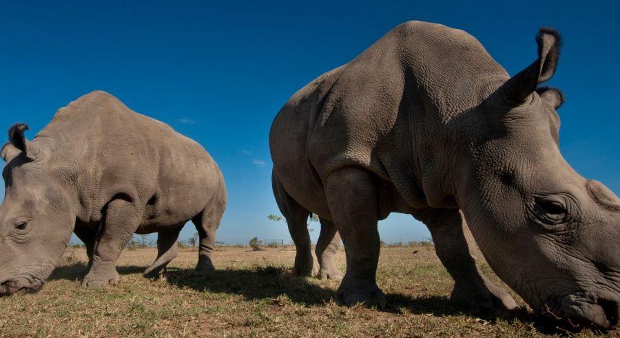 Nashörner in Kenia bei strahlend blauem Himmel