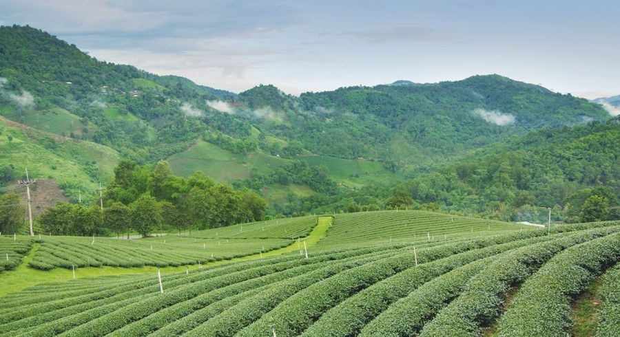 See verdant tea plantations on your East India tour