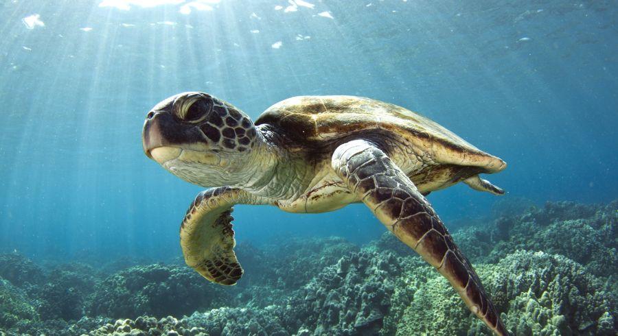 Beste Reisezeit Malediven - Azurblaues Wasser und Meeresschildkröten
