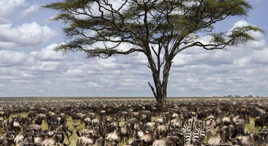 Beste Reisezeit Tansania - Millionen von Gnus und Zebras auf der großen Tierwanderung