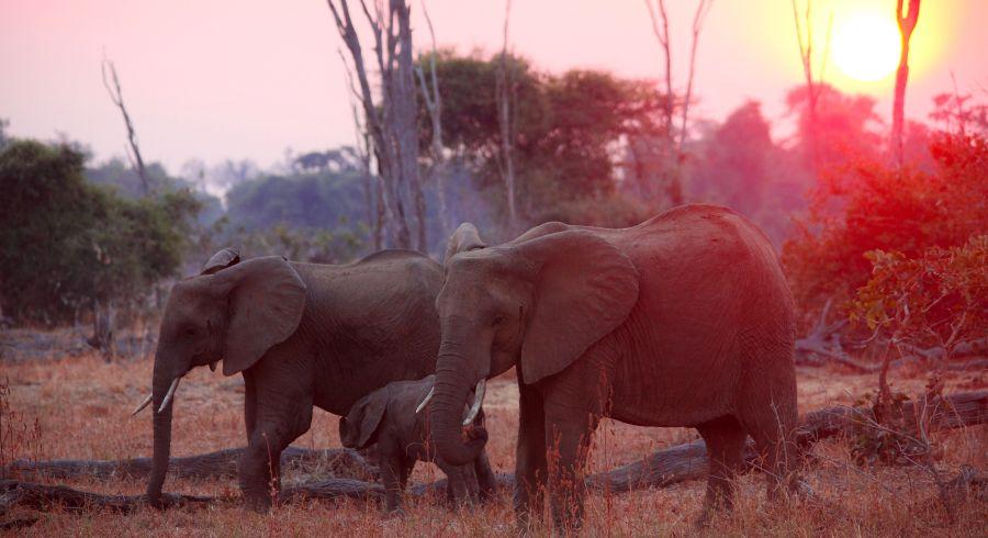Sonnenuntergang auf Sambia Safaris: Vorbeiziehende Elefanten