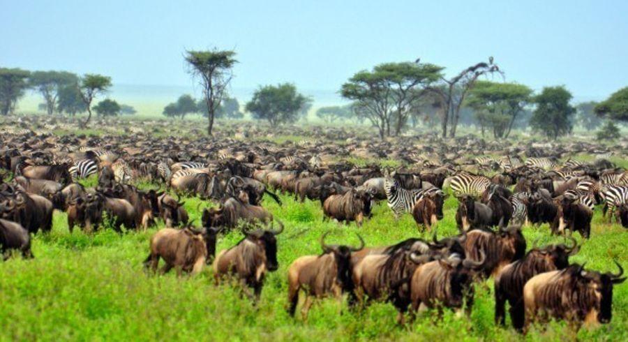 Zebras und Gnus während der Great Migration