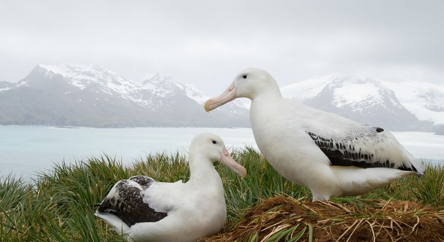 Enchanting Travels Antarctica Tours Pair of wandering albatrosses on the nest, socializing, with snowy mountains and light blue ocean in the background, South Georgia Island, Antarctica