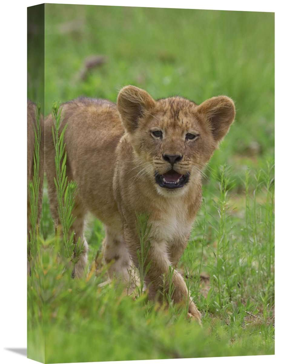 African Lion Cub Calling, Threatened, Native To Africa