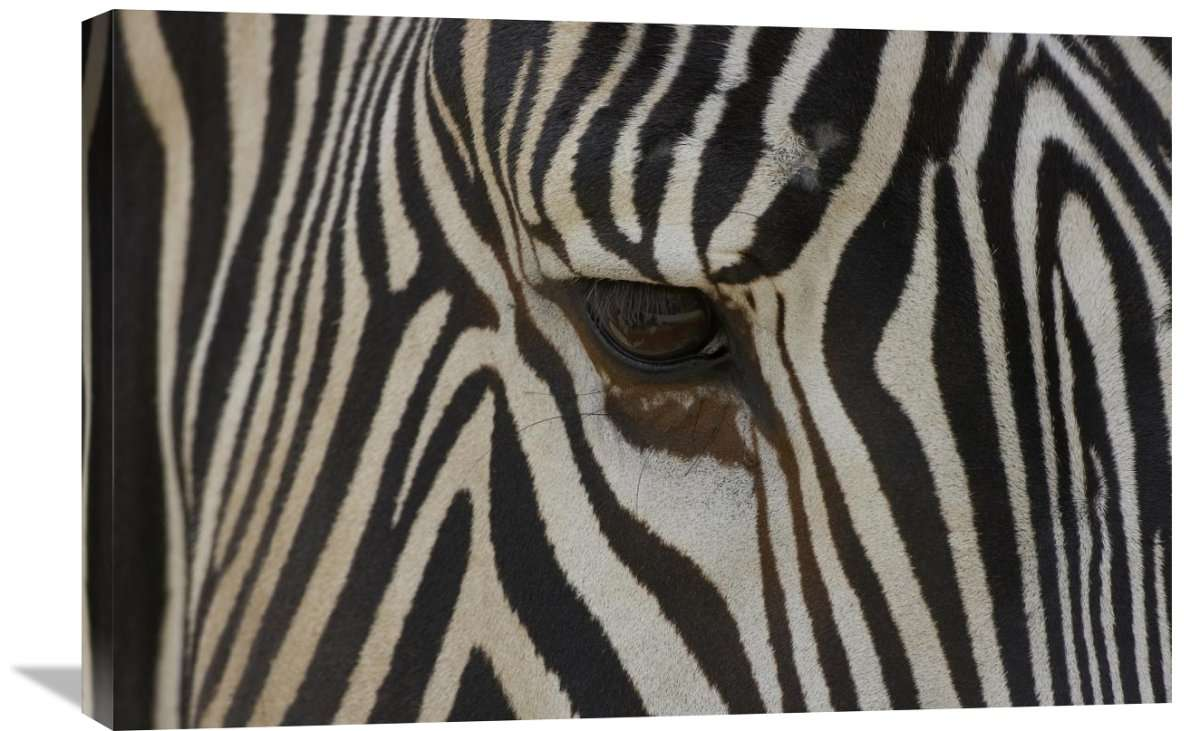 Grevy's Zebra Close Up Of Eye, Endangered, Native To Africa