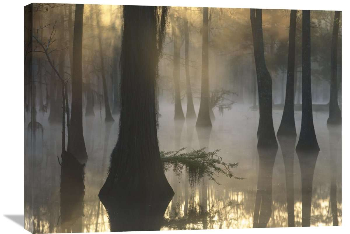 Bald Cypress Grove In Freshwater Swamp At Dawn, Lake Fausse Pointe, Louisiana