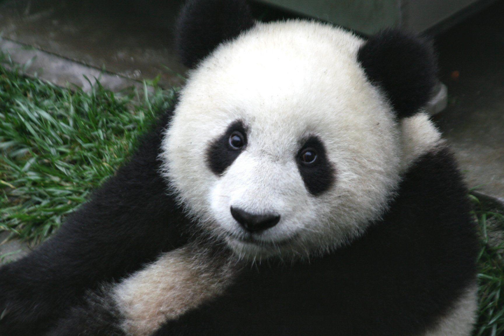 O Panda Profissional